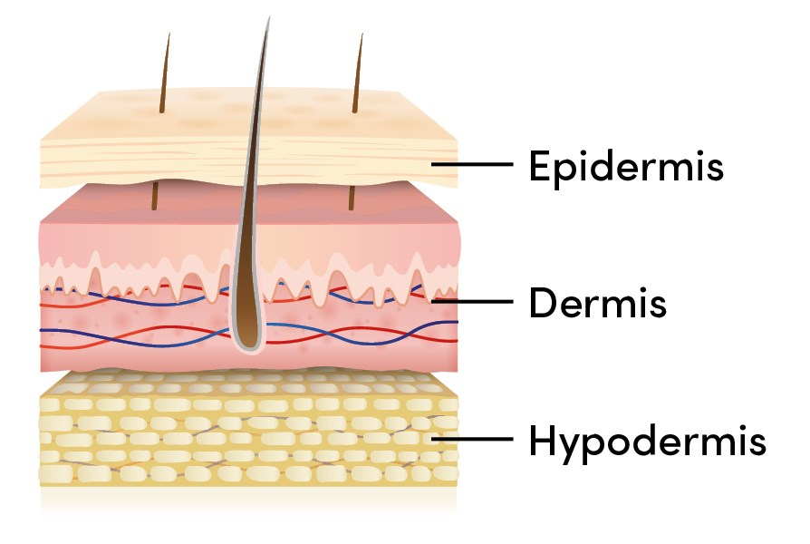 Image of the three layers of the skin, epidermis, dermis and hypodermis.